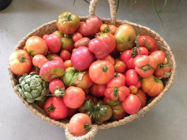 Rajado del tomate. Tomates del huerto