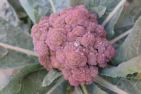 Cómo Cultivar Brécol Morado en el Huerto: Guía completa