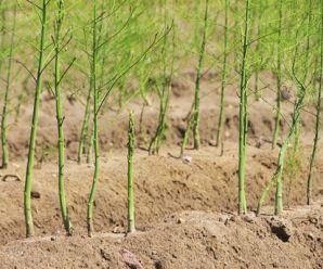 Cómo cultivar Espárrago: siembra, abono, riego y más