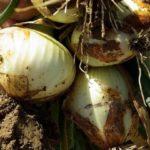 Cebolla: Plagas y enfermedades más habituales