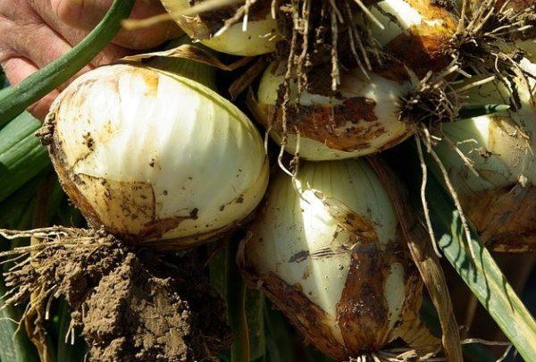 Cebollas sanas recién cosechadas, aún con raíces y hojas