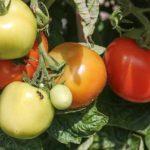 Plantas tóxicas en el huerto: Consejos y recomendaciones