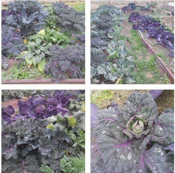Cultivos de invierno en el Huerto Urbano Comunitario de Vicálvaro (Fuente: www.facebook.com)