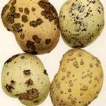 Plagas y enfermedades de la patata: Una guía imprescindible