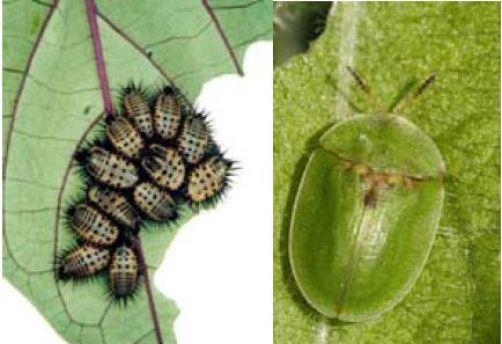 Cassida sp (Crisomélido).