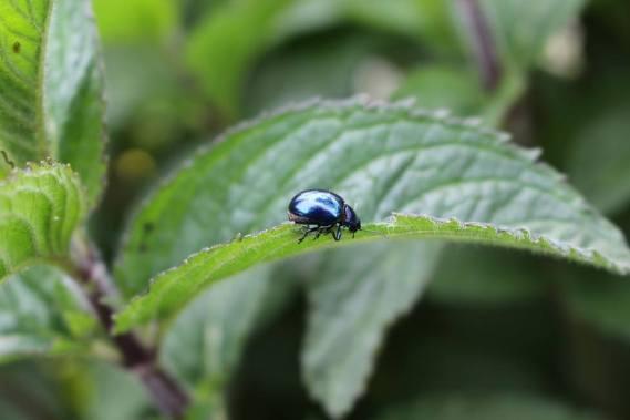 escarabajo de la menta