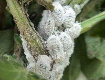 Cochinilla algodonosa, uno de los bichos blancos más comunes.