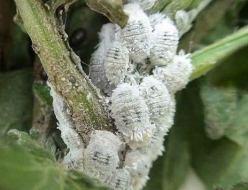 Bichos blancos en las plantas: Qué son y cómo eliminar