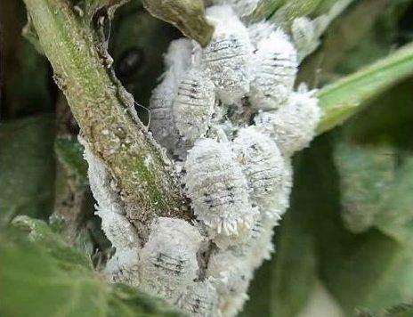 unos bichos blancos en las plantas, las cochinillas algodonosas