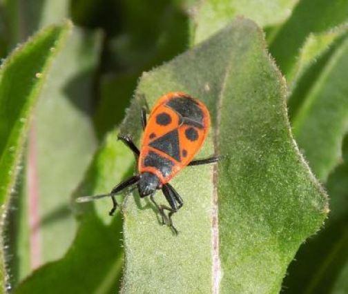 Bichos rojos en el huerto: Pyrrhocoris apterus