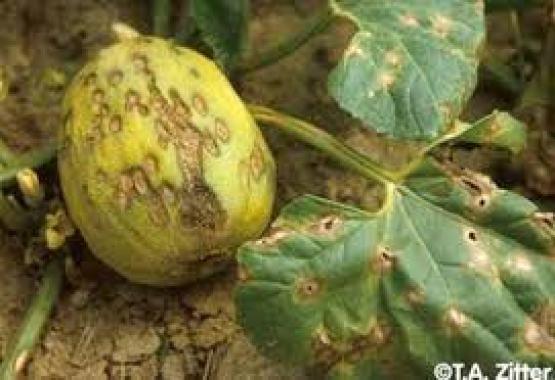 plagas en el melon