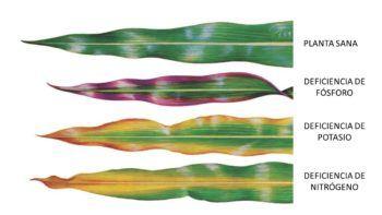 Carencia de diferentes nutrientes en las plantas