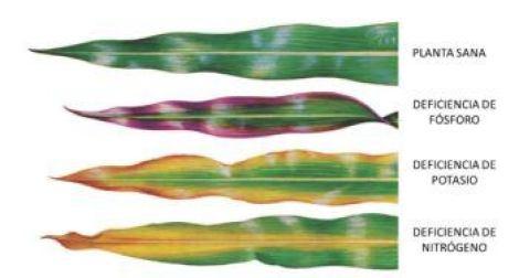 Manchas en las hojas por falta de nutrientes