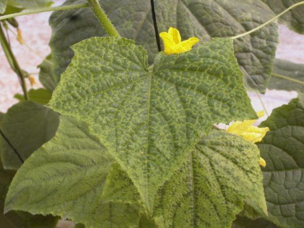 virus que causa nervaduras amarillas en las hojas