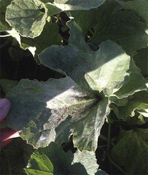 Aquí podemos ver el aspecto de una hoja del melón infectada de Oídio.