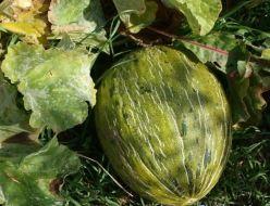 Plagas y enfermedades del melón: Guía completa con fotos