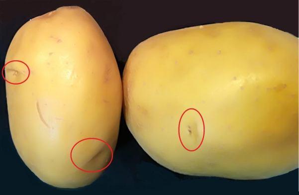 recrecer patatas