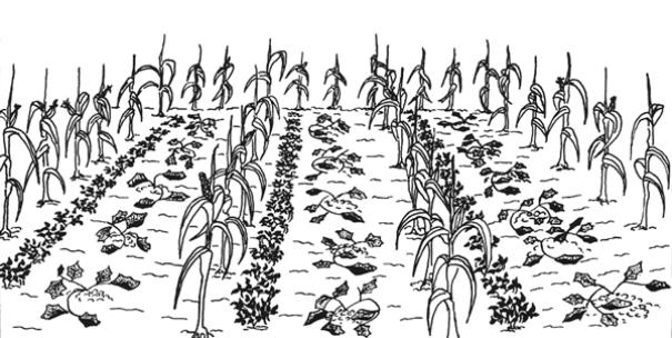 asociación cultivos maíz