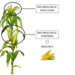 Cultivar Maíz en el Huerto Ecológico. Siembra, asociaciones, plagas…