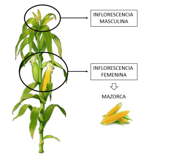 flores maíz