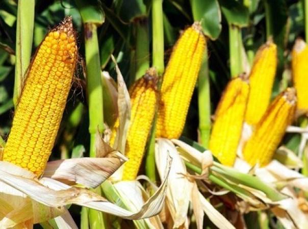 cultivar maíz