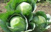 Cómo Cultivar Repollo en el Huerto: Todo lo que debes saber