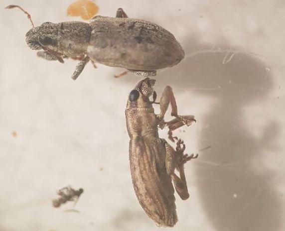 Sitonia lineatus, uno de los bichitos marrones que pueden afectar a las habas.