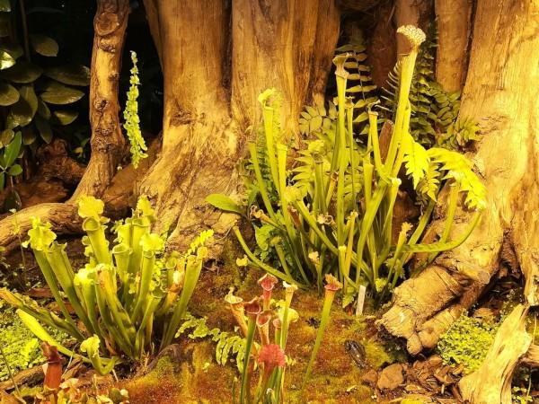 las plantas carnívoras: sarracenia