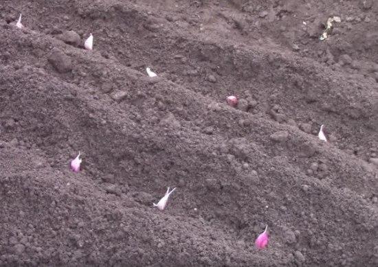 Plantar ajos en casa