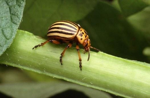 Escarabajo de la patata. Leptinotarsa decemlineata