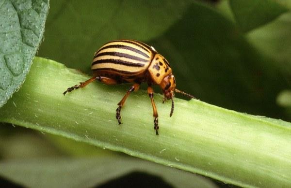 Plagas comunes: escarabajo de la patata