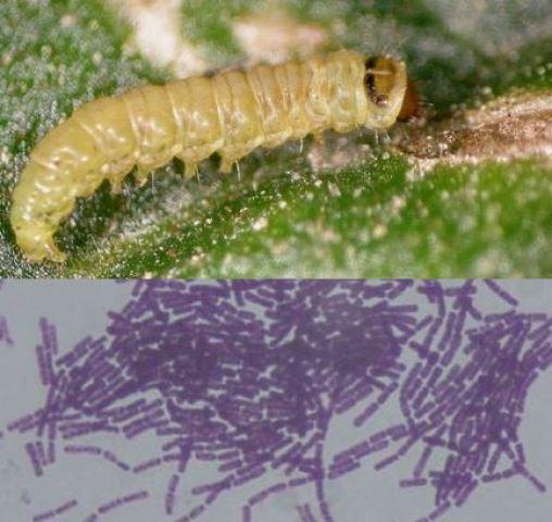 Tuta absoluta e imagen de Bacillus thuringiensis.