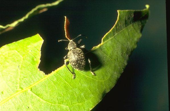 Gorgojo del género Otiorhynchus comiendo el borde de las hojas