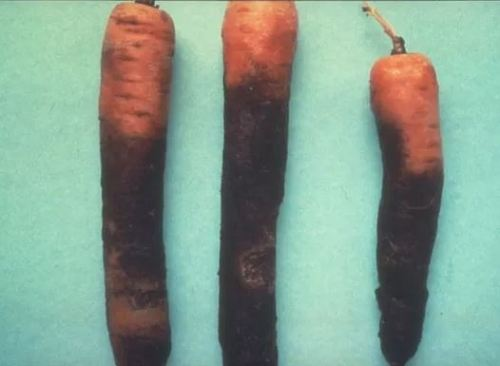 Rhizoctonia violacea una de las enfermedades de la zanahoria