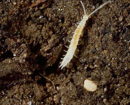 Milpiés blanco en la tierra