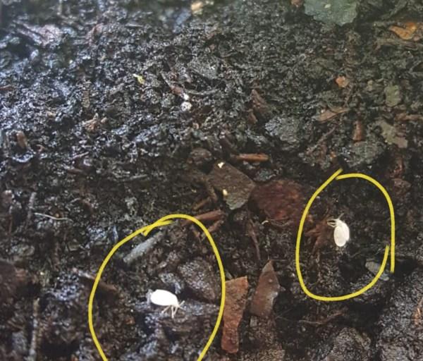 mosca blanca en la tierra