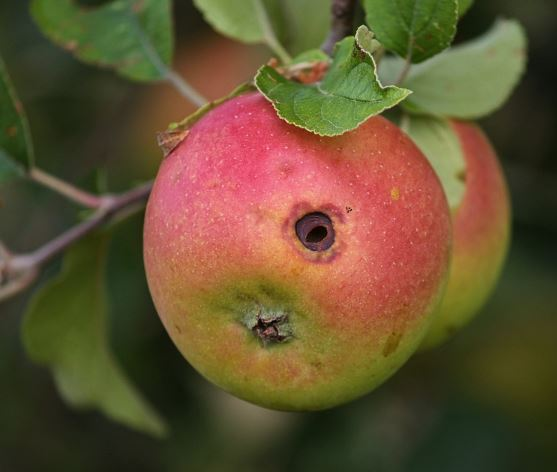 Agujeros en las manzanas ¿Quién es el culpable?