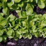 Cómo Cultivar Canónigos: Todo lo que Necesitas Saber