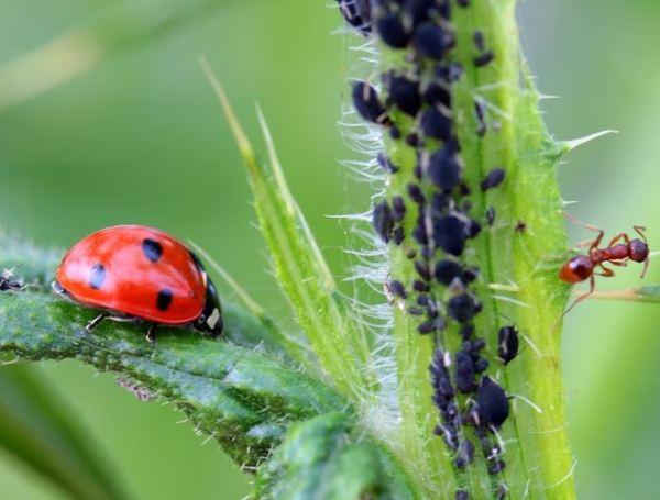 Mariquita pulgones y hormigas