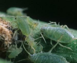Pulgones: Guía completa sobre los pulgones en las plantas