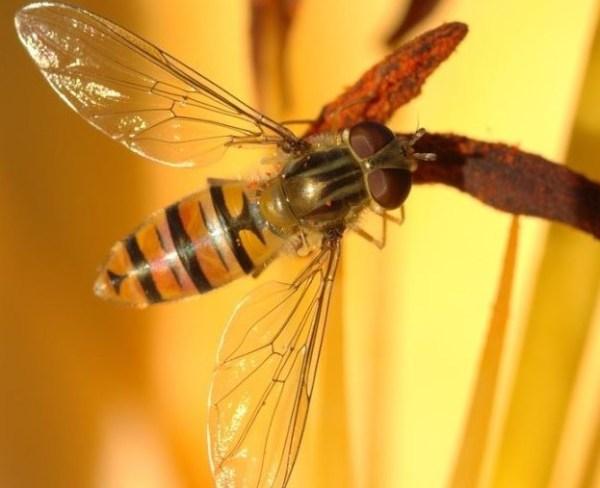 Sírfido (Insecto beneficioso)