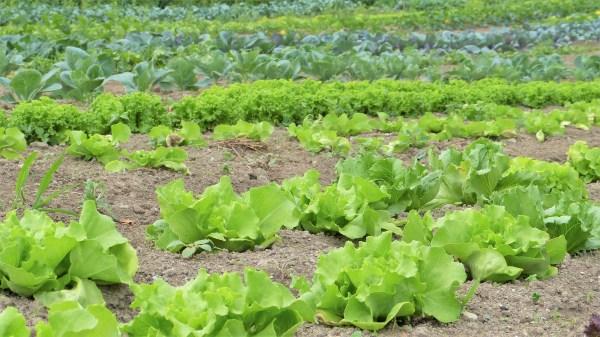 Distancias de siembra o separación entre lechugas y otras plantas del huerto