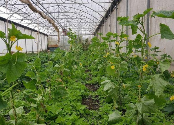 Entutorado de pepinos en invernadero.