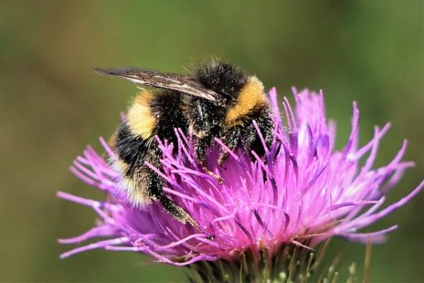 abejorros polinizadores