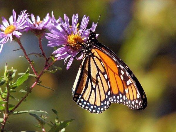 insectos polinizadores: mariposas