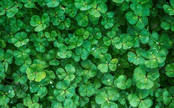 trébol como abono verde y planta medicinal en el huerto