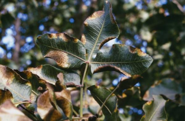 Síntomas de Alternaria en hojas de pistachero con aparición de manchas marrones.