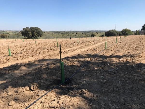 Pistachos recién plantados, con  tutores y protectores en Villamanta (Madrid). Marco de plantación 6x6 con riego por goteo.