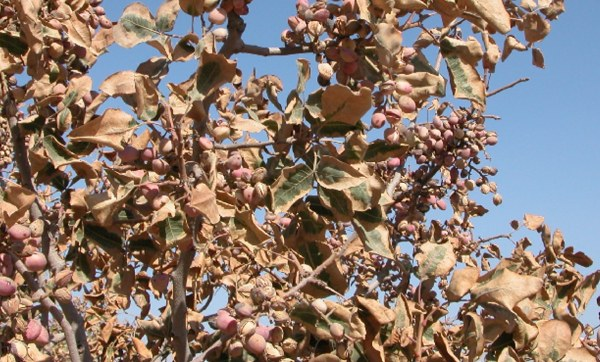 Amarilleamiento en las hojas del pistachero desde la punta hacia la zona más próxima a su unión con la rama.