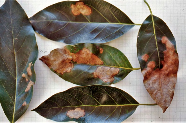 Antracnosis en hojas de aguacate